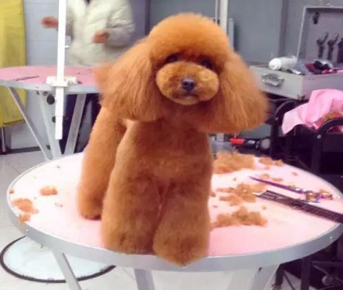 泰迪犬美容护理